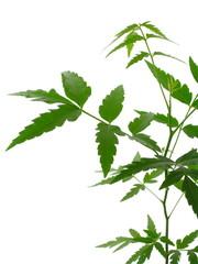 Azadirachta indica (neem)