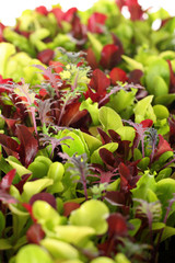 Microgreens vertical