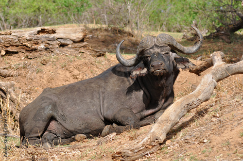 buffalo in Kruger national park,South Africa