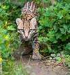 Prowling Ocelot