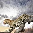 Quadro Leopard