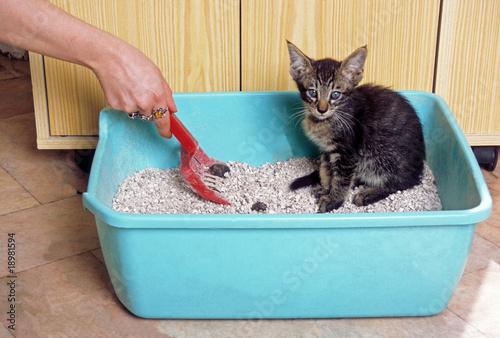 jeune chaton dans sa litière - apprentissage de la propreté