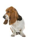 English basset dog (hound) isolated on white poster