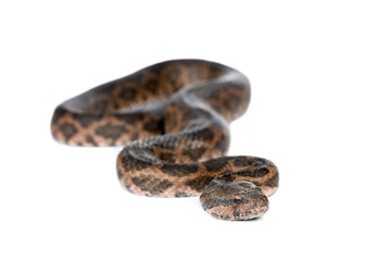 Portrait of slithering snake against white background
