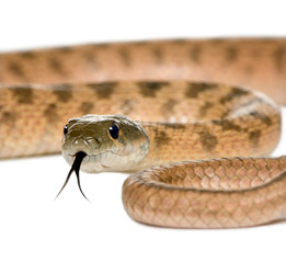Close-up of Rat snake, against white background