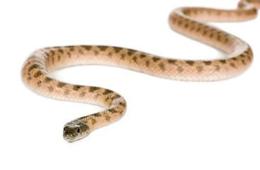 Rat snake, Hemorrhois algirus, against white background
