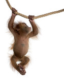 Sumatran Orangutan, hanging from rope against white background