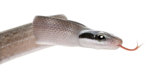 Young Beauty rat snake, in front of white background