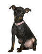 Pinscher puppy sitting in front of white background