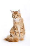 Red Cat, Maine Coon poster