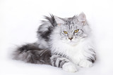 Beautiful cat, Maine Coon poster
