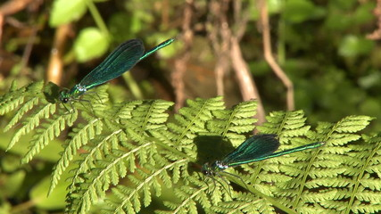 Two dragonfly on leaf in swamp
