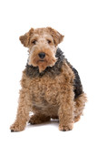 a fat welsh terrier dog poster