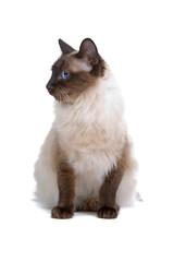 Balinese,birmanese cat isolated on white
