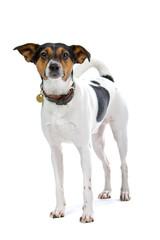 Boerenfox(Dutch) mix foxterrier and parson terrier