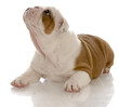 red and white english bulldog puppy laying down looking up