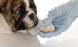 veterinary care - bulldog puppy with paw being held poster