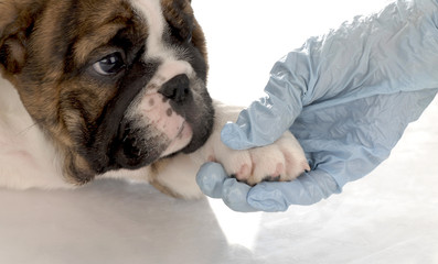 veterinary care - bulldog puppy with paw being held
