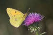 a pale clouded yellow resting on a violet flower