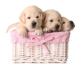 Fototapety Lab puppies