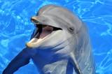 Fototapety Portrait d'un dauphin la bouche ouverte