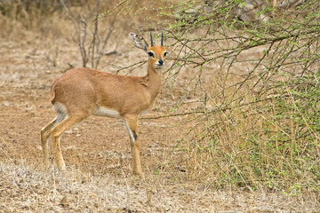 A small antelope calleda Steenbok enjoying spring eating
