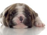 three week old brindle and white english bulldog puppy poster