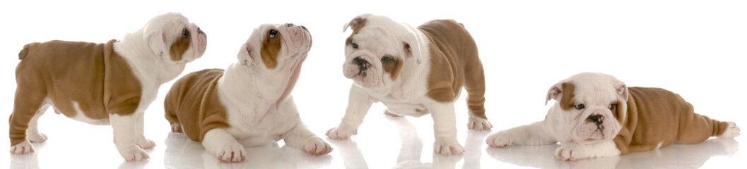 seven week old english bulldog puppy collection