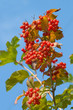 Guelder-rose red.