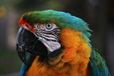 Harlequin Macaw Parrot Head poster