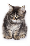 Beautiful Maine Coon kitten poster