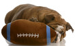 red brindle english bulldog playing with stuffed football