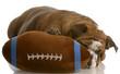 red brindle english bulldog playing with stuffed football