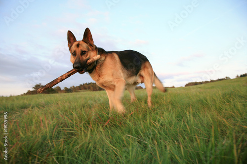 the Alsatian ( German Shepherd Dog )  is fetching