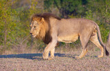Lion (panthera leo)in savannah