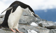 Bowing Chinstrap Penguin