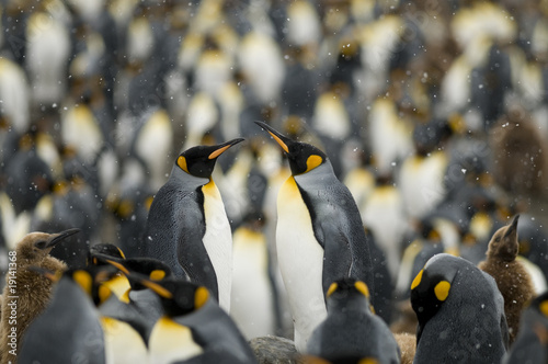 In de dag Pinguin King Penguin Couple in the Masses