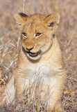 Lion cub (panthera leo) close-up
