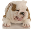 english bulldog puppy with cute expression - eight weeks old