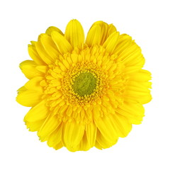 Closeup of yellow Gerbera flower on white background