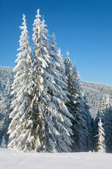 winter spruce trees