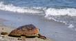 tartaruga marina spiaggia caretta caretta sea turtle