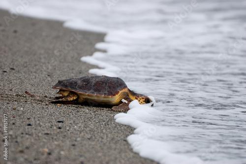 tartaruga marina caretta caretta  sea turtle