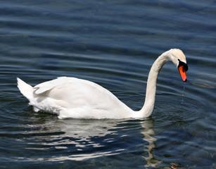 Cigno Sul Lago