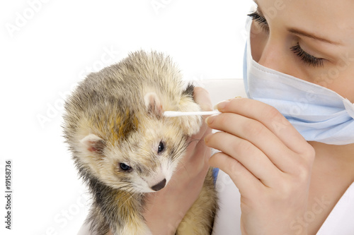 The veterinary surgeon with ferret.