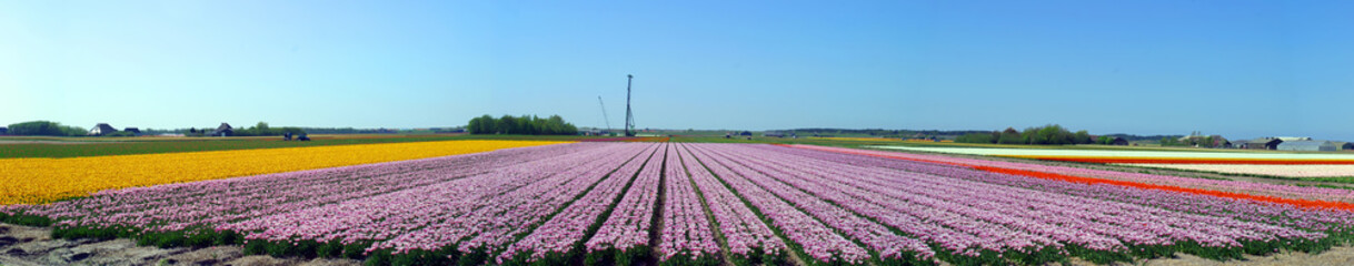 A colorful field of Tulips in The Netherlands.