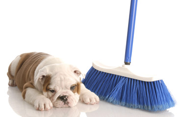 messy dog - bulldog puppy laying beside a blue broom