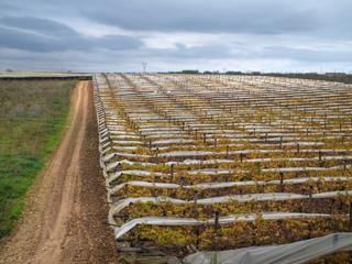 Grape fields. Turi. Puglia.
