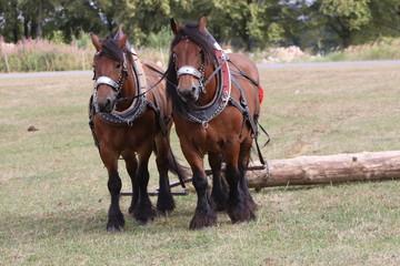 Zwei Ardenner-Pferde beim Holzrücken