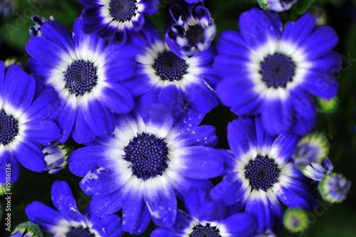 Plakat blue flowers